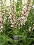 interesting-foxglove-on-the-botanic-nursery-stand
